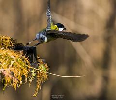 alzandosi in volo (Danilo Agnaioli) Tags: passeriformi natura inverno 2017 umbria italia