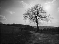 Im Gegenlicht (tosch_fotografie) Tags: baum weide landschaft gegenlicht sonne wolken blauer himmel feldweg zaun einsamkeit schwarz weis retro äste ast tree sun clouds lonelyness black white path landscape light iserlohn olympus omd em1