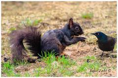 Squirrel-facing-a-bully-bird (fadelemad324) Tags: spring squirrel bird green grass bully animals canada ottawa ontario nikon nature nik nikond7000 d7000 dslr digital