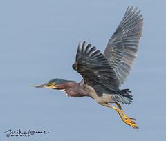 Green Heron (mikeyasp) Tags: greenheron heron littlegreenheron birds wetlands nature outdoors everglades wings flying inflight