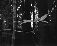 after the bloom (Scenes from the life of a double monster) Tags: film fuji mediumformat monochrome 6x7 ilford delta blackandwhite bw blackwhite