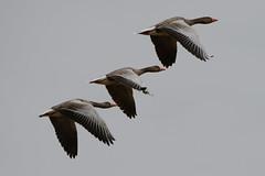Formation Flying, Tofta Kile (hkkbs) Tags: nikond800 tamronspaf150600mmf563divcusd grågås greylaggoose gås gäss geese waterfowl fågel bird fåglar birds toftakile kungälv bohuslän västkusten westcoast sverige sweden