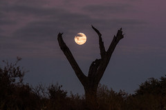 Full (Photos By Chris) Tags: moon fullmoon outback southaustralia barmera sa tree sillouette