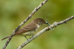 NIce Catch! (Maggggie) Tags: 117in2017 365 bird easternphoebe bug dragonfly branch food nature