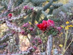 Sonoran Spring @ DBG (Az~Kate) Tags: cactus blooms birds wildflowers arizona beauty spring explore thanksall cholla red
