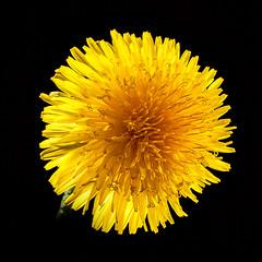 Taraxacum (grocap) Tags: taraxacum dandelion flower yellow studio stilllife tabletop spring