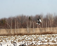 Snow Geese (Peter Simpson) Tags: snowgeese eastern ontario canon f4