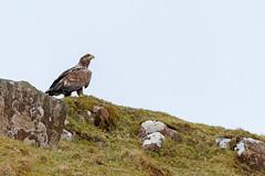 White-tailed Eagle (Haliaeetus albicilla) (another walt) Tags: whitetailed eagle haliaeetus albicilla ardnamurchan ben hiant b8007