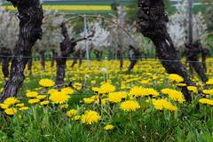 yellow sea (rainbowcave) Tags: dandelion commondandelion löwenzahn taraxacum feld blüte bloom trees bäume spring frühling rheinhessen kleinwinternheim pusteblume