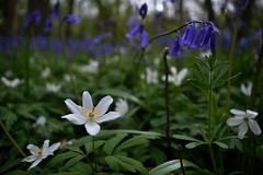 Wood anemone (braddalad123) Tags: woodanemone forest wood woodland bluebell flower flowers nature delicate beautiful depthoffield outdoor closeup white blue petals bourne lincolnshire elseawoods green nikon d3200