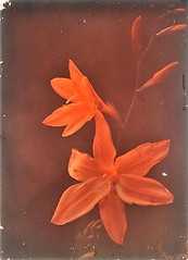 Autochrome of Flowers (kevin63) Tags: lightner facebook kasbahsalome autochrome photo early color flowers vermillion red orange blooms 1900s process