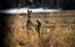 Rådjur, Roe deer (Mika Lehtinen) Tags: rådjur roe deer roedeer animal bambi wild finland spring field nikon d750 sigma