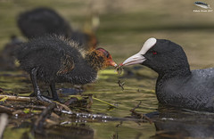 Coot Feeding Chick (Mick Erwin) Tags: coot feeding chick insects nikon afs 600mm f4e fl ed vr lens d810 mick erwin stoke trent staffordshire wildlife nature