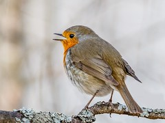 Robin (tods_photo) Tags: ifttt 500px forest birds spring bird sun tree beautiful branch woods wildlife song wild singing