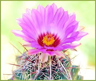 Spring Cactus Flower