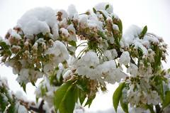 Ikka talvisemaks (anuwintschalek) Tags: nikond7000 d7k 18140vr austria niederösterreich wienerneustadt kodu home kevad frühling spring april 2017 lumi schnee snow kirsiõied kirschblüte cherryblossom garten garden aed