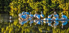 Sanibel Island Pelicans. ©® (The city guy ☺) Tags: afternoon exploration island miamifl sanibelisland seashore sonya58 tourists unitedstates waterways walking walkingaround outdoors sea