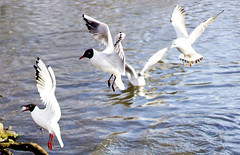 the fastest (patrick.tafani) Tags: seagull mouette oiseau bird lake
