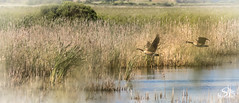 Canada Geese (Selkii's Photos) Tags: birds brantacanadensis california canadageese canadagoose goose lasgallinasponds lasgallinasvalleysanitarydistrict marsh pond sanrafael unitedstates water wetland