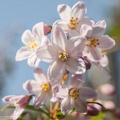 Happy macro Monday (Landleven (Irma Lit)) Tags: exif:isospeed=400 geocountry exif:make=nikoncorporation camera:model=nikond300 exif:aperture=ƒ63 exif:focallength=60mm exif:model=nikond300 geolocation geostate geocity exif:lens=600mmf28 camera:make=nikoncorporation lentevreugde deutzia tuin thuis buiten lente april outside garden flower pink rose