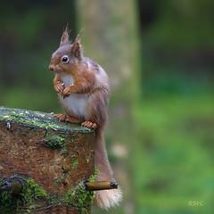 That was tasty (Rob McC) Tags: sciurusvulgaris redsquirrel cute animal fauna nature tuftedears tufted uk gallowayforestpark dumfriesandgalloway kirroughtree