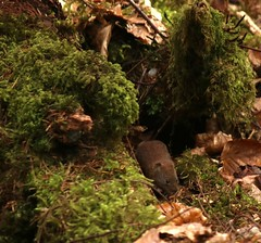 Bank Vole (Sybalan,) Tags: benmoregardens argyll rbge red squirrel trees tranquility httpsybalanphotographyweeblycom cowal canon hide feeding feeders 760d 55250mm mammal outdoor cute furry