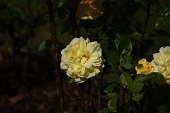 DSC_5464 (PeaTJay) Tags: nikond750 reading lowerearley berkshire macro micro closeups gardens outdoors nature flora fauna plants flowers rose roses rosebuds