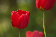 Up and Down (Stefan Zwi.) Tags: blume flower 105mm f28 sigma sony a7 ilce7 emount farbe flora closeup macro nature background beauty blooming bloom botany green bokeh depth field tulip red rot ngc