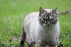 IMG_0282_2 (Pablo Alvarez Corredera) Tags: mundo rural granja langreo barros asturias animales gato mascota mimoso bonito dormi mirada