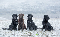 Another Spring Portrait (Blazingstar) Tags: portrait spring snow alberta flatcoated retriever dogs