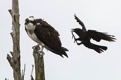 Harrassment (Scott Jamison) Tags: attack osprey crow dive tree overcast fight
