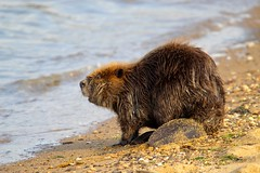 Beaver on the Beach (Piedmont Fossil) Tags: sandypoint state park maryland chesapeake bay beaver mammal wildlife