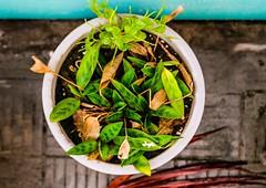 Garden Plant! (mdshahinshah) Tags: canon canoneos750d eos 750d canonbangladesh flikr shahinshah bangladeshiphotographer nature beauty fashion style plant trees garden