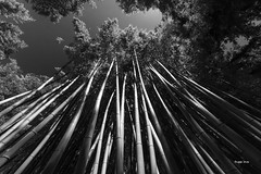 Bambouseraie (Jacques Isner) Tags: anduze guard pentax pentaxart pentaxflickraward pentaxk1 nature bambou bambous samyang14mm samyang jacquesisner
