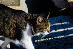 Focused Cat (danielemaresca@rocketmail.com) Tags: cat closeup taxbiex malta europe