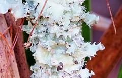 Foliose Lichen 6824 (Tangled Bank) Tags: high ridge coastal scrub forest remnant palm beach county florida wild nature natural plant flora botany foliose lichen