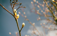 22.04.17 (Kirby_Wilson) Tags: sprout sprouting bud budding tree spring bluesky nature