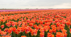 Fields of colors.... (Jambo53 (!)) Tags: tulips tulpen groenehart holland netherlands nikond800 bloemen flowers tamron247f28 tulipfields dutchlandscape nederlandslandschap kleurenpracht tulpenvelden