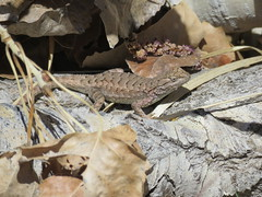 Lizard sunning at Capitol Reef National Park (JJP in CRW) Tags: capitolreef nationalparks utah lizards reptiles wildlife