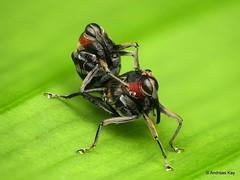 Fly-mimicking Weevils mating, Macrocopturus sp.? Curculionidae: Conoderinae (Ecuador Megadiverso) Tags: andreaskay beetle conoderinae curculionidae ecuador fleshfly fly focusstack macrocopturussp mimicry sarcophaga weevil