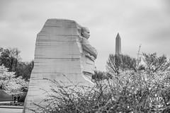 600_5527 (VMP photography) Tags: sakura washington cherryblossom tree travel capitol usa united unitedstates landmarks monuments jefferson lincoln