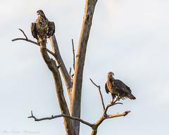 DSC_5577-Edit-Edit (alan.forshee) Tags: bald eagles turkeys raptors birds nature natural animals feathers beaks spurs predators prey fan hens gobblers jakes nest feed hunt