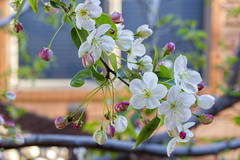 """Crabapple blossoms outside my window - ODC-""""April showers bring May flowers"""" (Exdeltalady) Tags: crabapples tree flowers blossoms spring odc macro blooms springtime bokeh"""