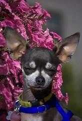 Chihuahua (swong95765) Tags: ears dog petite flowers bokeh cute watching guard temper