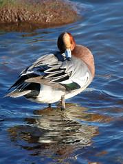 wigeon (m) (robin denton) Tags: duck wigeon bird waterbird scarborough scalbymills yorkshirecoast eastcoast coast anaspenelope