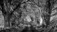 Dark Hedges, Donegal (Pearse Mac) Tags: donegal ireland wild atlantic way wildatlanticway hedges dark black white bw blackandwhite stag cold morning