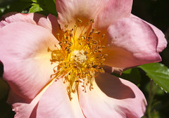 Rosa All the Rage (Shotaku) Tags: roses rose rosa macro closeup flower flowers spring blooms blooming