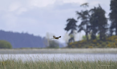 Northern Harrier Apparition and disapparition! (Chantal Jacques Photography) Tags: northernharrier bokeh wildandfree saanichtonspit birdscape wildlife apparition nature apparitionanddisparition
