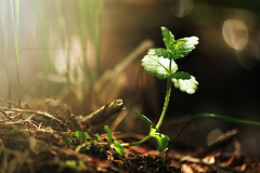 Morning Light (Rebecca McCreary) Tags: bokeh dof forest grass light nature outdoors sun sunlight sunshine trees beginnings branch bodyofwater breathtaking brilliant closeup colorful colors colour colours country colourful daybreak daylight depthoffield early earlymorning enchanted enchantedforest flesherton flower flowerlike fresh glow glowing golden goodmorning green harmony heavenly land landscape leaf magical morning naturephotography peaceful rayofsun rebeccamccreary rebeccamccrearyphotography shadows summer summertime sunrays sunrise swamp tree treebranch warmth warmcolours woods sticks twigs