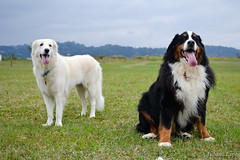 Happy dogs (Ju Lopes) Tags: mountain dogs nature sarah nikon natureza harry cachorro berner bernese kuvasz d3100